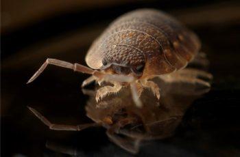 Bed Bug Blood Sucker