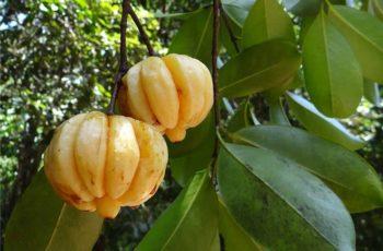 Garcinia-Cambogia-Benefits