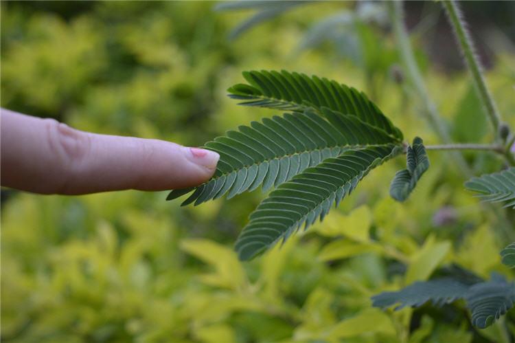 Makahiya Plant Shameful Plant