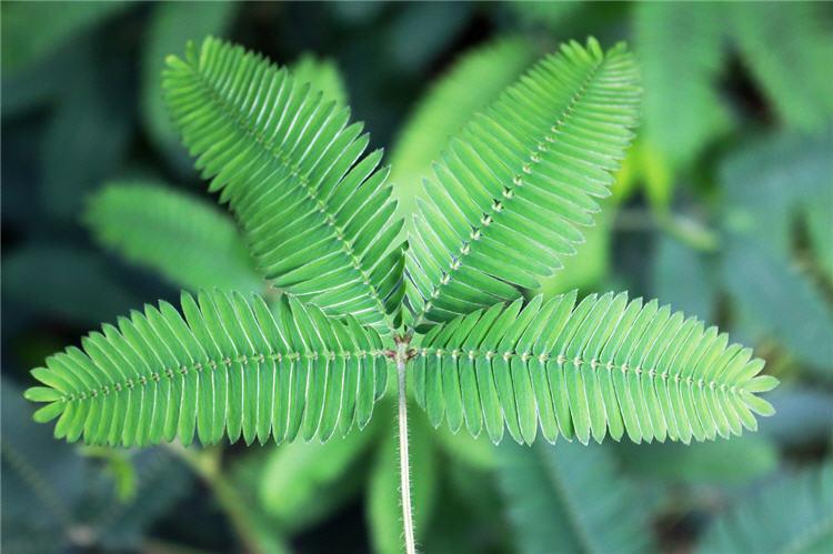 Mimosa Pudica Body Detox